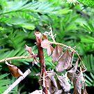 praying mantis by andytechie