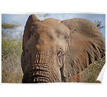 Big Ears — Kruger National Park, South Africa Poster