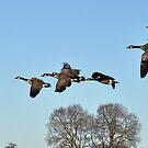 Geese in Flight by loz788