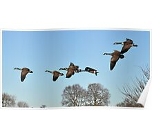 Geese in Flight Poster