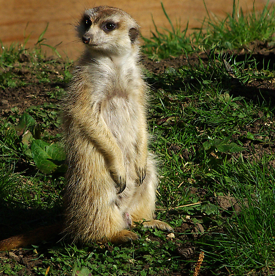 ComparetheMeerkats #2 by Trevor Kersley
