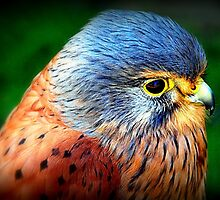 European Kestrel  by naturelover