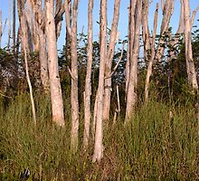 Melaleuca Trees in Florida Everglades by robert cabrera