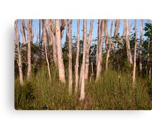 Melaleuca Trees in Florida Everglades Canvas Print