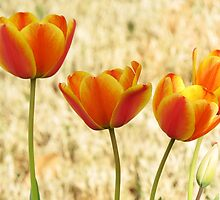 Tulips and Sunlight by Rogere0829
