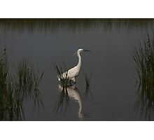 Egret Hunting Photographic Print
