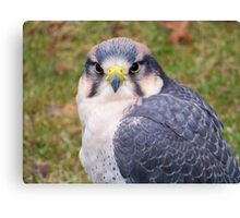 Eleonora's Falcon  Canvas Print