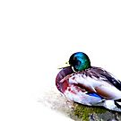 The Mallard and the log..... by DaveHrusecky
