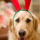 Golden Reindeer by Jared Revell