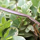 Praying Mantis; La Mirada, CA USA All Rights Reserved Lei Hedger Photography by leih2008