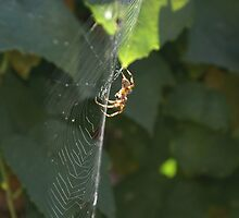 Basking in the sun; Spider in my garden this summer La Mirada, USA by leih2008