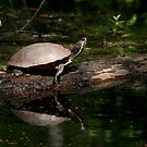 Yellow-bellied Slider - 1st Landing State Park Virginia by Bonnie Robert