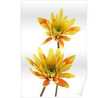 two chrysanthems  Poster