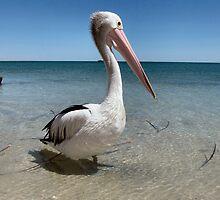 Contemplative Pelican by Grianghrafadoir