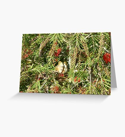 Two waxeye birds kissing in a bottle brush tree Greeting Card