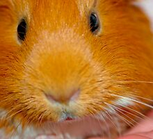 "Guinea Pig ""Goldie"" by BarbaraWilliams"