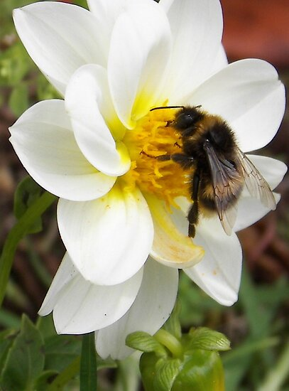 beautiful bumble bee by michellerena