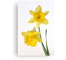two yellow daffodils Canvas Print
