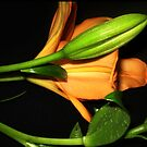 Oriental Lily opening  by EdsMum