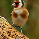 Goldfinch by Robert Abraham