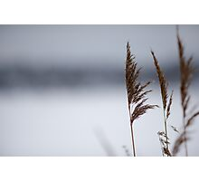 Reeds in winter Photographic Print