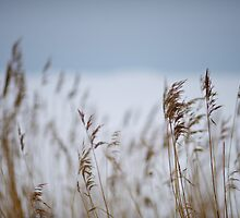 Reeds in focus by Johan Hagelin