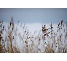 Reeds in focus Photographic Print