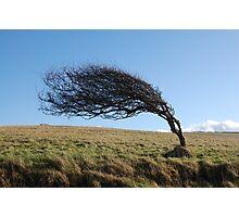Wind beaten Photographic Print