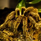 Tarantula in pet shop by nataraki76