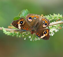 Brown Butterfly by CarmenLygia