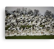 Snow Geese of Skagit Valley Canvas Print