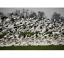 Snow Geese of Skagit Valley Photographic Print