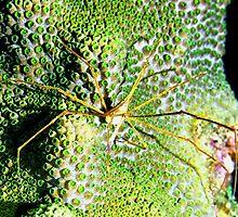 Arrow Crab on Green Star Coral by Amy McDaniel