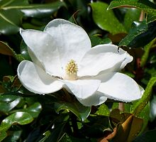 Magnolia bloom after an early morning rain by barnsis