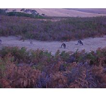 roos in the gloaming Photographic Print
