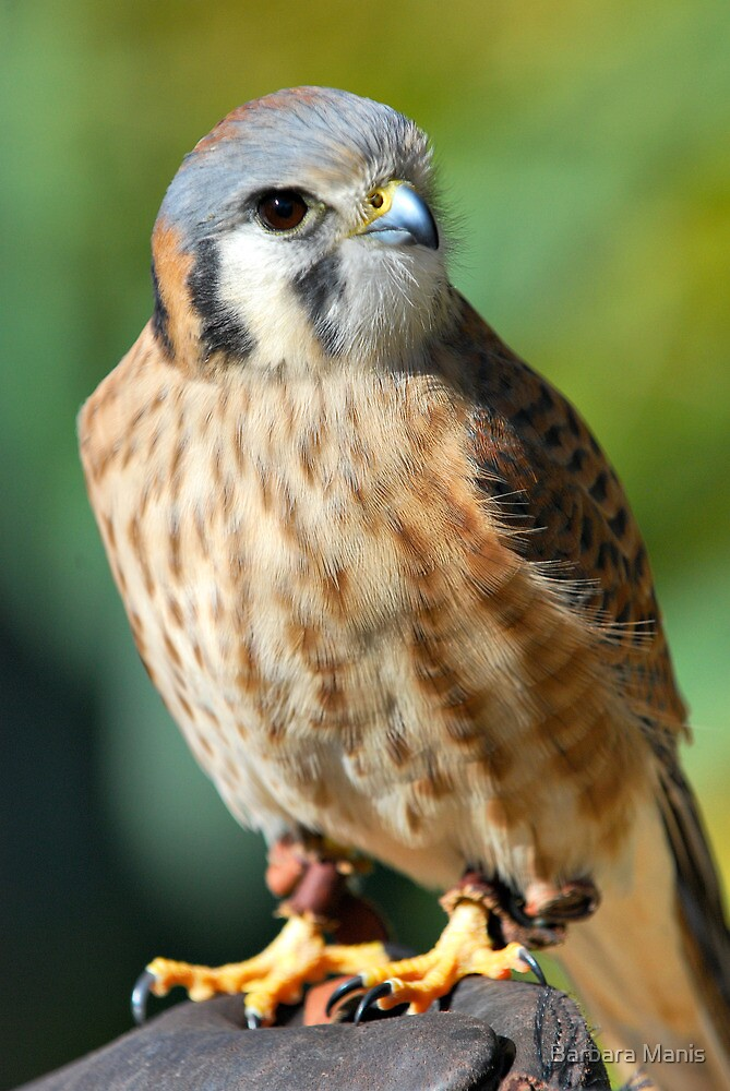 American Kestrel by Barbara Manis
