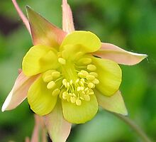 Yellow Columbine 2 by art2plunder