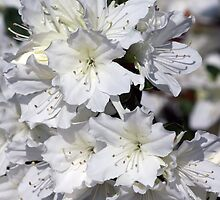 White Azalea Flowers ~ Azalea Bursts by roadsidestills