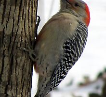 Red-bellied Woodpecker sticks out tongue by Jean Gregory  Evans