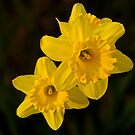 Daffodil Duo by cclaude