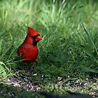 Northern Cardinal In My Backyard by Bonnie Robert