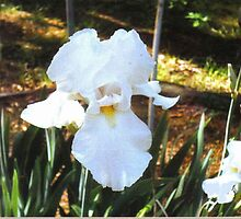 Beautiful White Iris by dorcas13