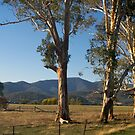 Roadside Gum Trees: Mt Buffalo Valley, Victoria. by johnrf