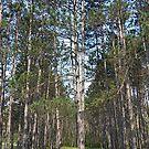 Beaver Pines by Monnie Ryan