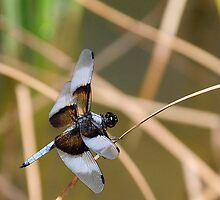Dragonfly on Reed by Diana Graves Photography