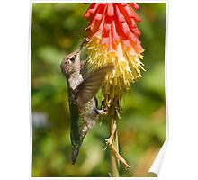 Hummingbird on Red Hot Poker Poster