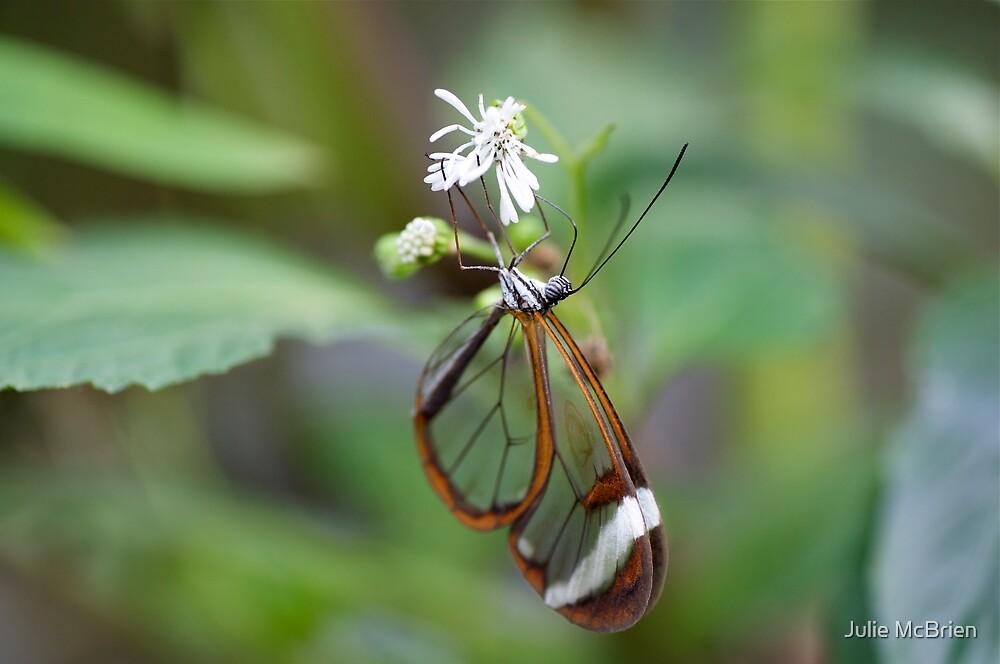 Glasswing Butterfly by Julie McBrien