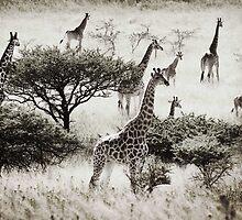 Africa Giraffes at Tala by Robyn Liebenberg