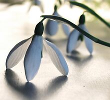 Snow drops by Alexandra Muresan
