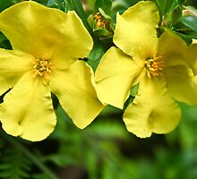 Native Buttercup (hibbertia cuneiformis) by pennyswork